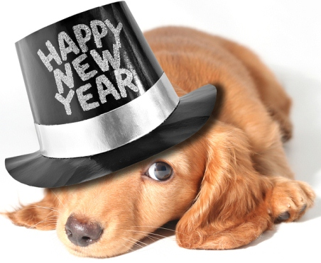 Miniature dachshund puppy with a new year's hat